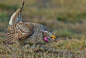 Male sharp-tailed grouse (Photo by Rick Howie)