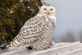 Snowy owl (Photo by Gregg McLachlan)