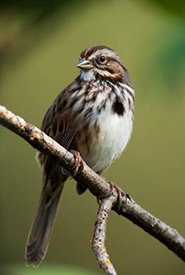 Song sparrow (Photo by Jim Dunn)
