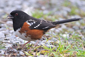 Spotted towhee (Photo by Charles Francis)