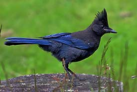 Steller's jay (Photo by chowan, iNaturalist)