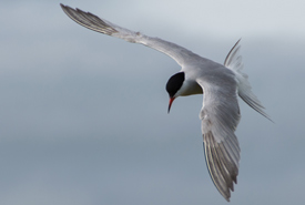 Common tern in flight at Tern Island, Tabusintac (Photo by Claire Elliott/NCC)