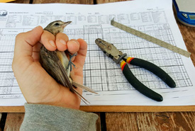 Warbling vireo that was just banded. Also shown are the banding pliers used to apply the band, data sheet, wing chord ruler and digital scale. (Photo by NCC)