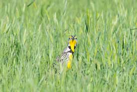 Western meadowlark (photo by Jason Bantle)
