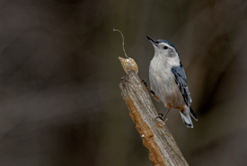White-breasted nuthatch (Photo by Lorne)