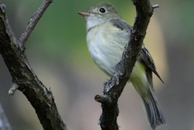 Acadian flycatcher (Photo by Bill Hubick)