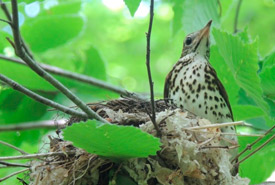 Adult wood thrush at her nest (Photo by Sue Hayes)