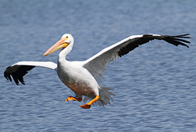 American white pelican (Photo by Bill Hubick)