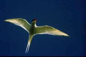 Arctic tern, Tabusintac, NB (Photo by NCC)