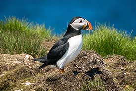 Atlantic puffin (Photo by Tim Frye/iNaturalist)