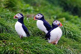 Atlantic puffins (Photo by Bill Caulfeild-Browne)