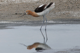 An avocet steps through some water. (Photo by Mike Dembeck)