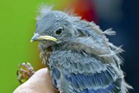 Baby western bluebird (Photo by Bill Pennell)