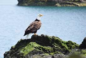 A bald eagle at the Kumdis estaury, Haida Gwaii, BC (Photo by NCC)