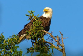 Bald eagle (Photo by Keith Mombour)