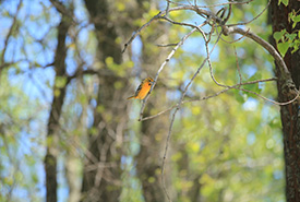 Baltimore oriole (Photo by Yves Cheung)