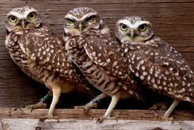 Banded burrowing owls (Photo by Dianne Bersea)