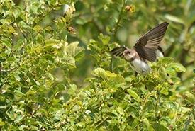 Hirondelle de rivage (Photo de Joanne Redwood/iNaturalist)
