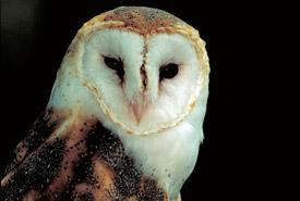 Barn owl (Photo by Dr. Thomas G. Barnes/University of Kentucky)