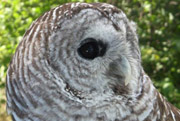 Barred owl (Photo by NCC)