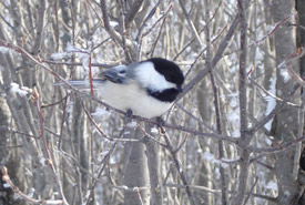 Black-capped chickadee in winter (Photo by NCC)