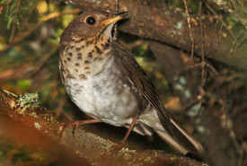 Bicknell's thrush (Photo by Serge Beaudette)