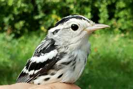 Black-and-white warbler (Photo by NCC)
