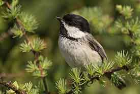 Black-capped chickadee at small wetland adjacent to NCC beach in Grand Manan (Photo by Nick Hawkins)