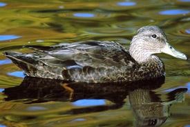 Black duck (Photo by Wayne Boudreau)