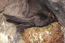 A black swift nesting (Photo by Aaron Maizlish, CC-BY-NC).
