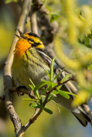 Blackburnian warbler (Photo by Claire Elliott/NCC staff)