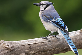 Blue jay (Photo by Gregg Williams)
