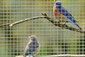 A pair of western bluebirds in their temporary aviary, Cowichan Garry Oak Preserve, BC (Photo by Tim Ennis/NCC)