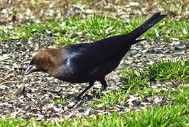 Brown-headed cowbird (Photo by David Dodd CC BY-NC)