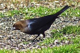 Brown-headed cowbird (Photo by David Dodd CC BY-NC)