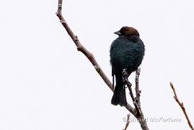 My FoY brown-headed cowbird, in disappointingly poor light! (Photo by Mhairi McFarlane/NCC)