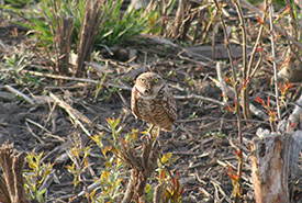 The burrowing owl is the bird that really started it all for us on Pelee Island. On a whim back in April 2008, we decided to bird on the island, and, incredibly, found a burrowing owl. (Photo by Mike Burrell)