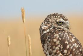 Burrowing owl (Photo by Lauren Mead)