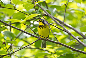 Canada warbler (Photo by Zack Metcalfe)