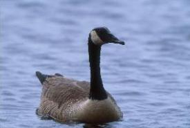 Canada goose (Photo by Helen Jones)