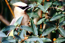 Cedar waxwing (Photo by Glen Maceachern)