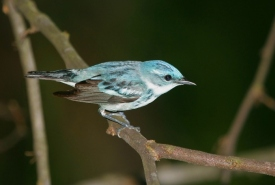 Cerulean warbler (Photo by Bill Hubick)