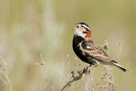Chestnut-collared longspur (Photo by May Haga)