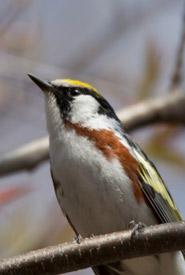 Chestnut-sided warbler (Photo by Claire Elliott/NCC staff)