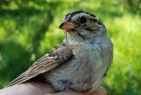 Clay-coloured Sparrow (Photo by NCC)