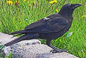 Common raven (Photo by Judy Gallagher/Wikimedia Commons)