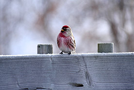 Hoary redpoll (Photo by NCC)