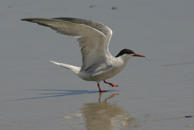 Common tern (Photo by Bill Hubick)