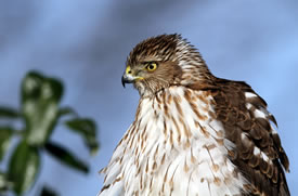Cooper's hawk (Photo by Bill Hubick)