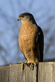 Cooper's hawk (Photo by Jim Johnson, CC BY-NC-ND 4.0)